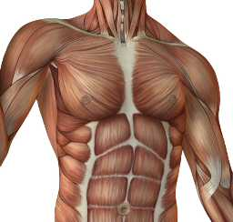 Muscles Overlying the Ribs